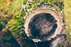Antrodia svampar på en sörjastubbe fotografering för bildbyråer