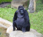 Antropoid socialt djur för gorillaföreträdeapa Royaltyfria Bilder