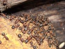 Ants. Many-many ants at home Royalty Free Stock Photos