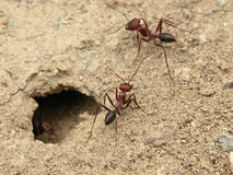 Ants. Coming out of their hideout royalty free stock image