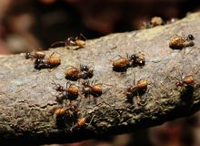 Ants. Busy ants on an old wood log Royalty Free Stock Photography