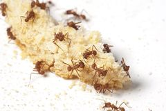 Free Ants Royalty Free Stock Image - 31292466