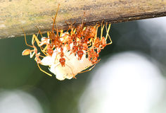 Ants. Team of Ants gathering Rice, agriculture teamwork. focused on nearest workers royalty free stock photos