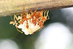 Ants royalty free stock photos