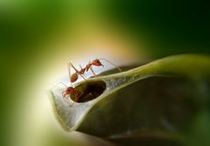 Ants. Build their nest with teamwork Stock Photography