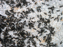 Ants Stock Images