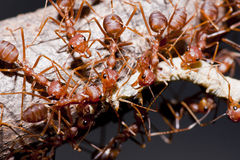 Ants And Victim Worm Royalty Free Stock Photos