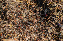 Ants anthill hive colony detail pine needles Stock Images