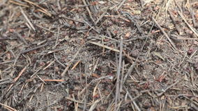 Ants in an anthill in the wood stock video footage