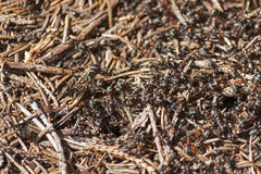 Ants in an anthill Royalty Free Stock Images