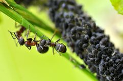 Ants and Aphids. Macro black ants and aphids on grass Stock Photo
