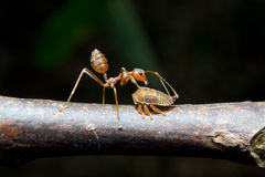 Ants aphids. Close up. Stock Image