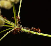 Ants and aphids cooperation Stock Image