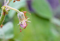 Ants and Aphids Royalty Free Stock Photography