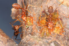 Ants and aphids. Share a well-documented relationship of mutualism. Ants feed on the sugary honeydew left behind by aphids. In exchange, the ants protect the Royalty Free Stock Photos
