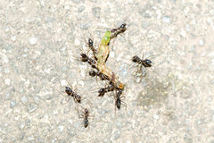 Ants  attack caterpillar Royalty Free Stock Images