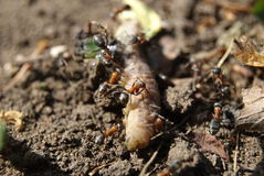 Ants attack a caterpillar Stock Photos