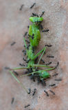 Ants attack and eat green praying mantis Stock Photography