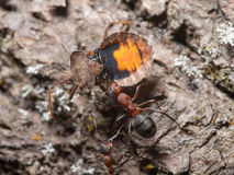 Ants and beetle Royalty Free Stock Photos