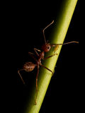 Ants in black background Stock Image