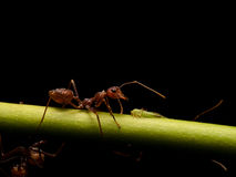 Ants in black background Stock Photos