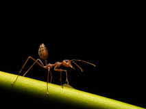 Ants in black background Royalty Free Stock Image