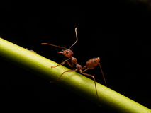 Ants in black background Royalty Free Stock Photos
