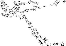 Ants black silhouette Stock Images