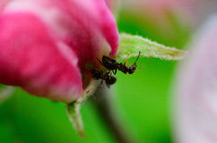 Ants on blossom Royalty Free Stock Photos