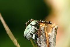 Ants and bug. Macro Stock Image