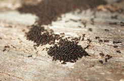 Ants build a new muzzle in the spring.  royalty free stock photography