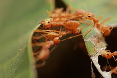 Ants building the nest. Royalty Free Stock Images