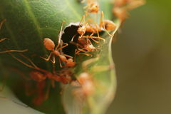 Ants building the nest. Royalty Free Stock Photography