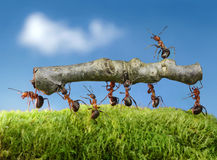 Ants carry log with chief on it, team work stock image