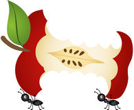 Ants carrying apple core Stock Photos