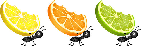Ants carrying citrus fruit slices Stock Photo