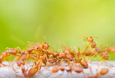 Ants are carrying dead ant. Royalty Free Stock Images