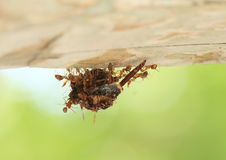 Ants carrying dead insect Royalty Free Stock Image
