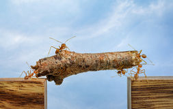 Ants carrying wood across channel, teamwork royalty free stock image