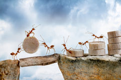 Ants carrying wood crossing cliff stock images