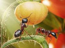 Ants checking tomatos in backlight. Garden ants checking harvest of tomatos Stock Photo