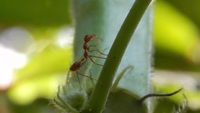 Ants cleaning its antennae stock video