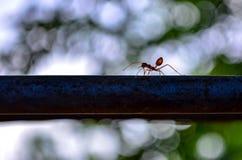 Ants climb Stock Photography