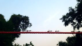 Ants are climbing on the ropes stock footage