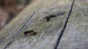 Ants close-up shot. Ants in the woods found a dead ant eat it. stock video footage