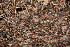 Ants closeup view. Ants at the anthill. Closeup view Royalty Free Stock Photography