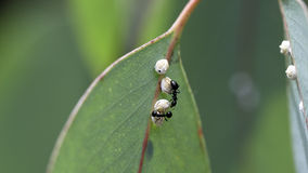Ants with Cocoons. Two Ants working with a small Cocoon Stock Photo
