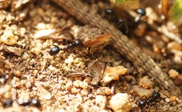 Ants collecting food Stock Images