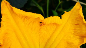 Ants collecting pollen on yellow flower stock video footage