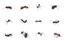 Ants collection Royalty Free Stock Images